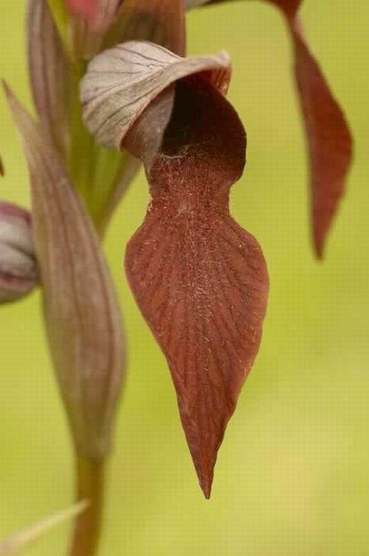 Serapias vomeracea/Serapias vomeracea