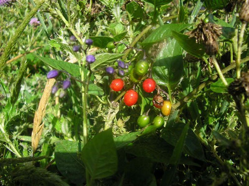 Dulcamara, Uvas del diablo/Solanum dulcamara