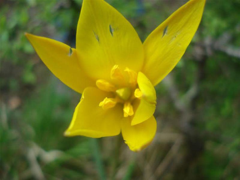 Tulipan silvestre/Tulipa sylvestris