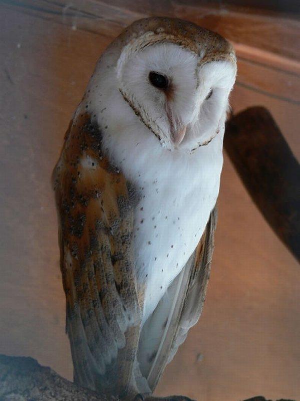 Lechuza Común/Tyto alba