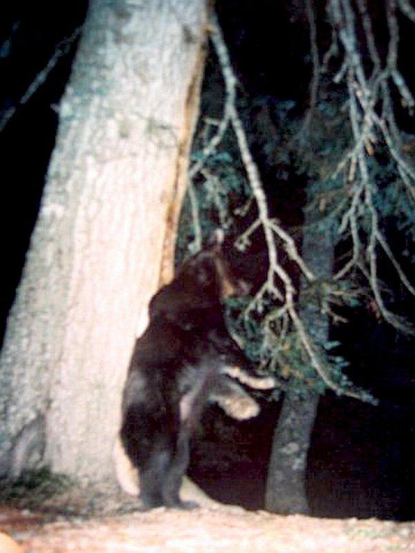 Oso pardo/Ursus arctos
