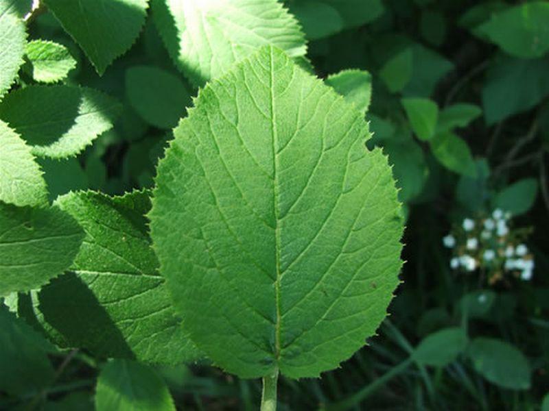 Viburno/Viburnum lantana
