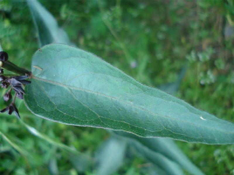 Pimiento silvestre/Vincetoxicum nigrum