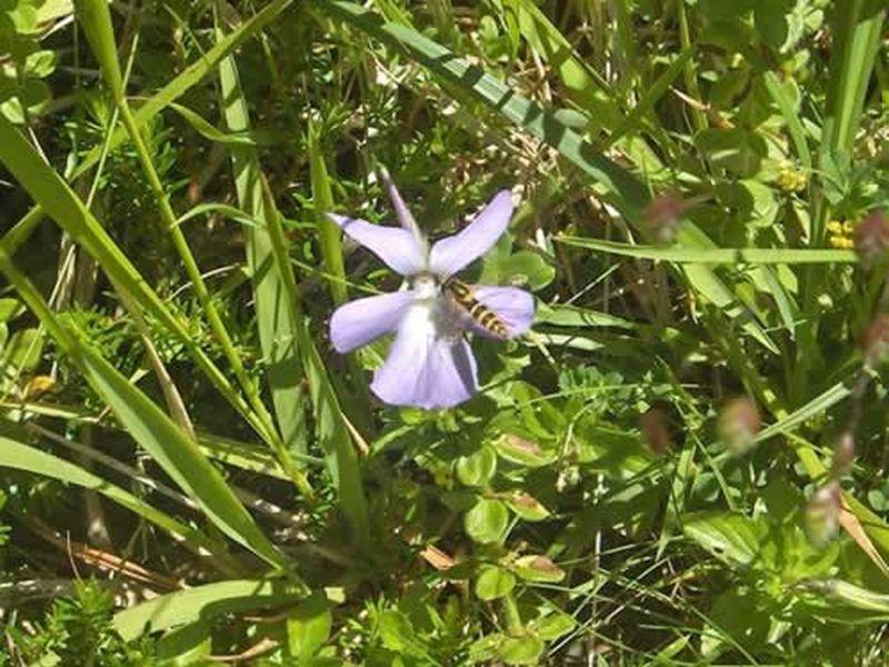 Violeta/Viola cornuta