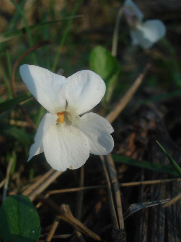 Violeta/Viola odorata